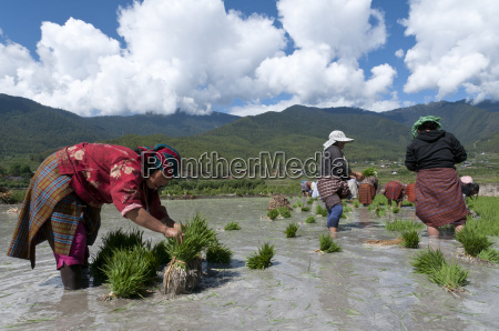 female farmers transplanting rice shoots into