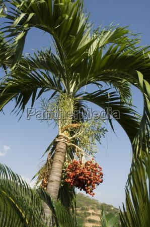 fruit on palm tree nicoya pennisula