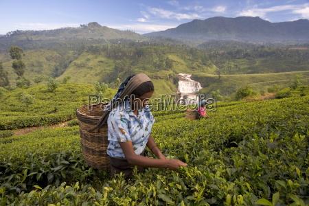 women tea pickers tea hills hill