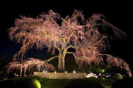 famous giant weeping cherry tree sakura