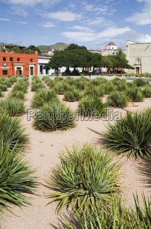 agave pflanzen fuer die herstellung von