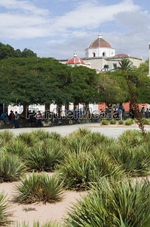 agave plants used for making mezcal