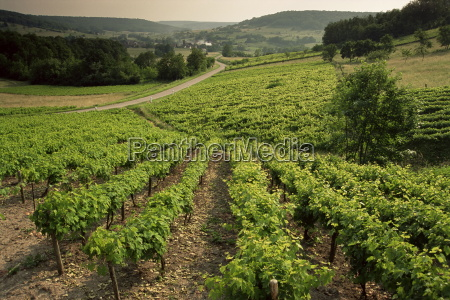 vineyards near coiffy le haut haute