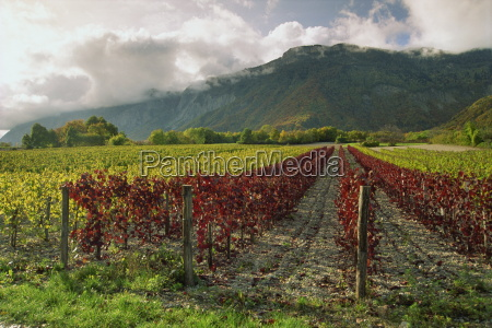 vineyards near st ismier near chambery