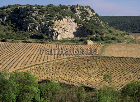 vineyards near pezenas herault languedoc roussillon