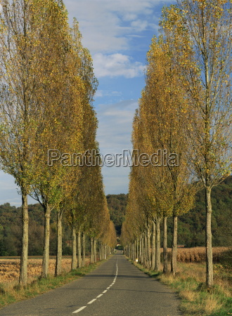 poplars on both sides of an