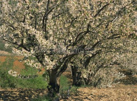 spring blossom on trees near gordes