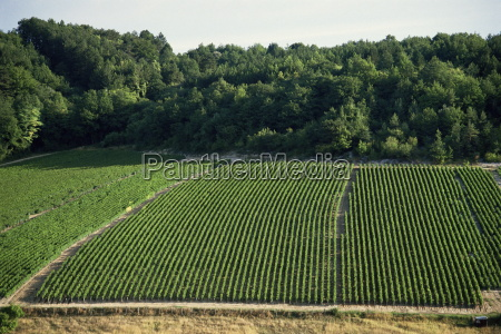 chablis vineyards fleys near chablis yonne