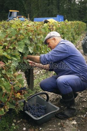 harvest in the medoc vineyards margaux