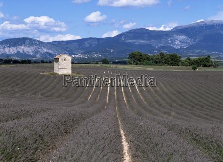 lavender fields plateau de valesole alpes