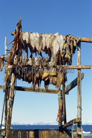 fish, drying, for, huskies, to, eat - 20647793