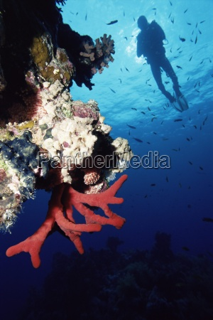 coral reef and diver off sharm