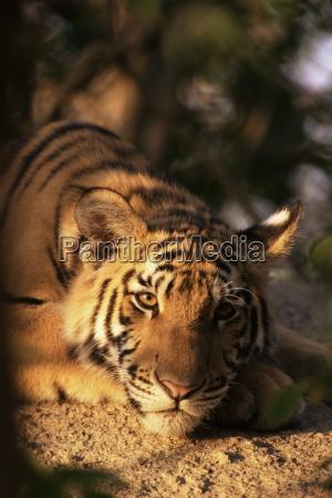 indo chinese tiger cub panthera tigris