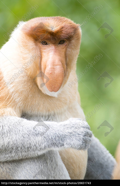 dominante, männliche, proboscis, affe, (nasalis, larvatus) - 20651743