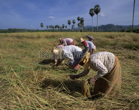 women harvesting rice in a field