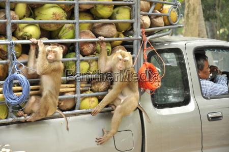macaque monkeys trained to collect coconuts