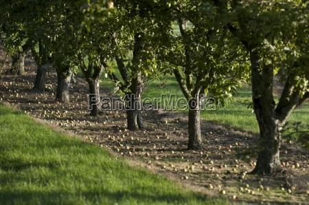 cider apples ready for harvesting somerset