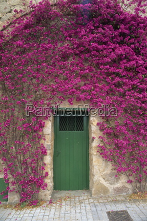 bougainvillea glabra around a green wooden