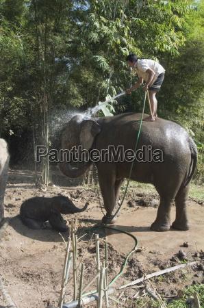 elephants at the anantara golden triangle