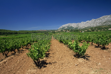 vineyard at foot of mont ste