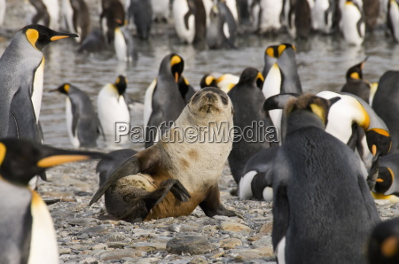 fur seal and king penguins st