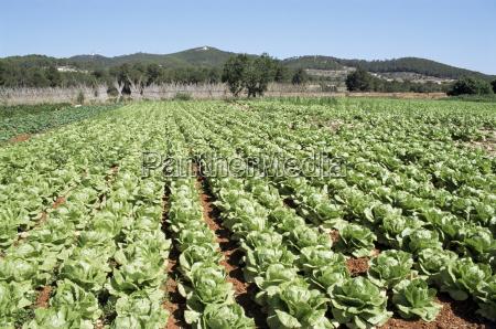 cabbage field near sant llorenc ibiza