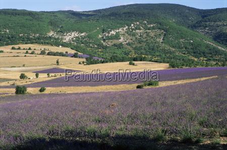 lavender fields sault vaucluse provence france