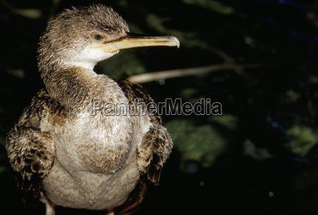close up of a cormorant menorca
