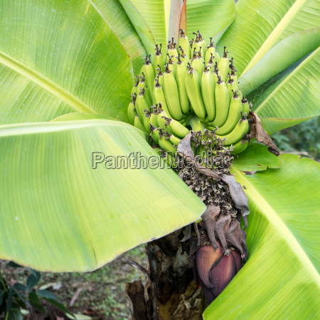 detail of a banana tree