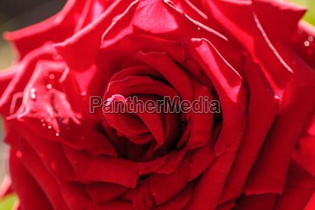 garten blume pflanze gewaechs rose bluete