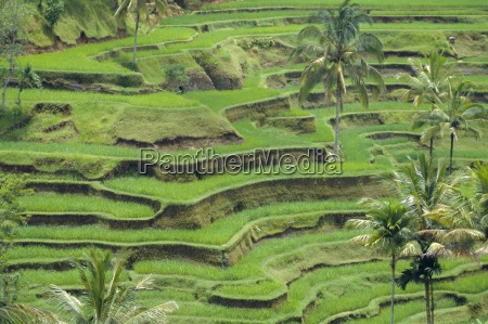 rice terraces bali indonesia