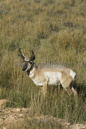 prong horned antelope antilocapra americana bryce