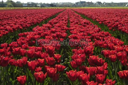 tulpenfelder in der naehe von noordwijk