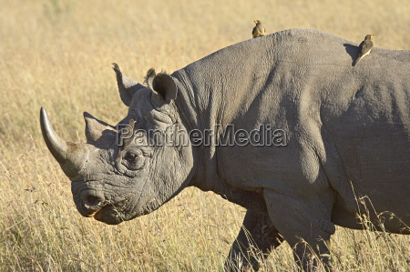black rhinoceros or hook lipped rhinoceros