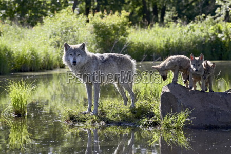 gray wolf canis lupus in captivity