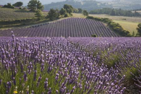 lavender fields sault en provence vaucluse