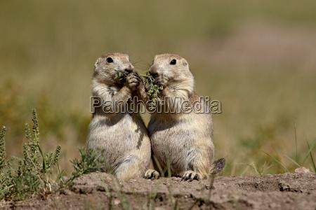 zwei, schwärzwanz-prärie, hund, (cynomys, ludovicianus), die, etwas - 20722205