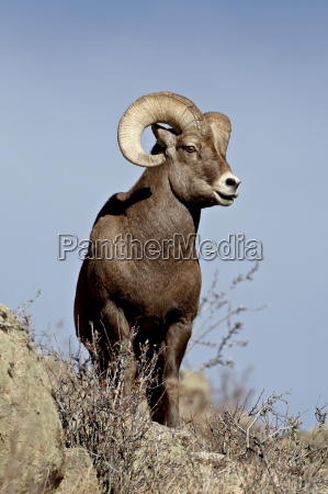bighorn sheep ovis canadensis ram during