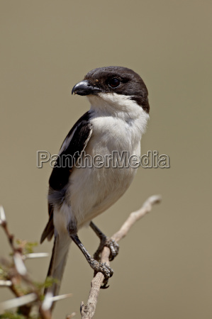fiscal shrike common fiscal lanius collaris