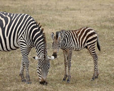 common zebra burchells zebra equus burchelli