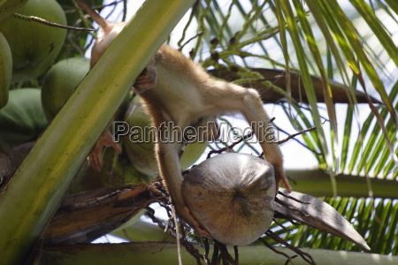 a trained monkey picks coconuts on