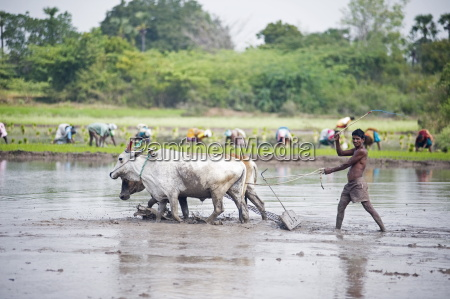 farmer using cattle to plough rice