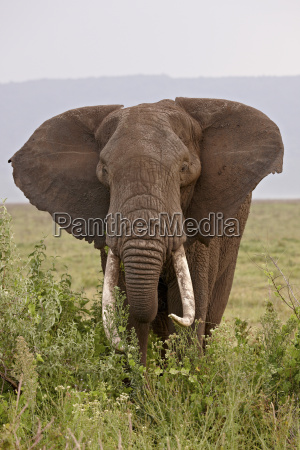 african elephant loxodonta africana with large