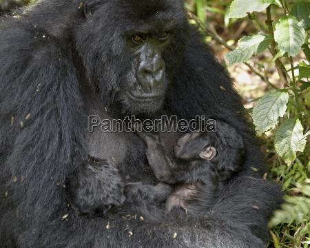 berggorilla gorilla gorilla beringei mutter ihrer