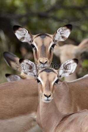 erwachsene und jugendliche frauen des impala