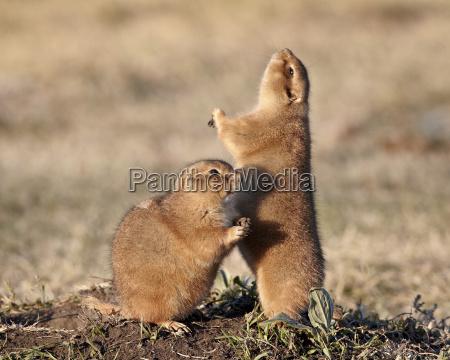 two black tailed prairie dog blacktail