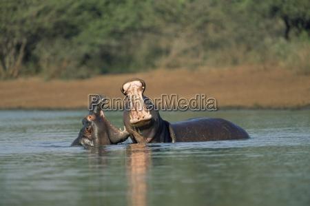 gemeinsame flusspferde hippopotamus amphibius zwei junge