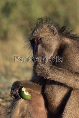 chacma baboon paplo cynocephalus ursinus eating