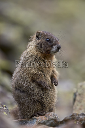 young yellow bellied marmot yellowbelly marmot