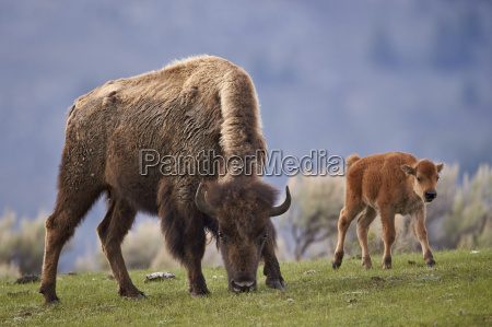 bison bison bison cow and calf